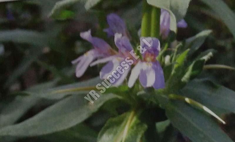 Hygrophila Auriculata
