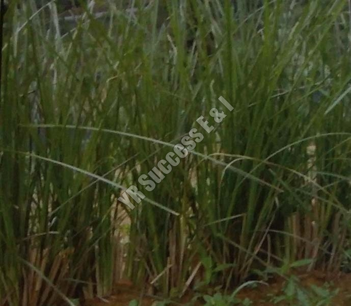 Vetiveria Zizanioides