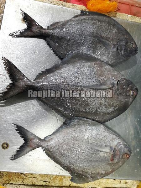 Fresh - chilled  Silver Pomfret Fish