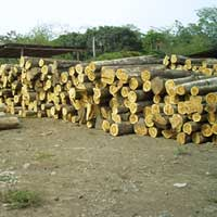 Ivory Coast Teak Wood - 02