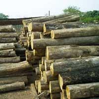Ivory Coast Teak Wood - 03