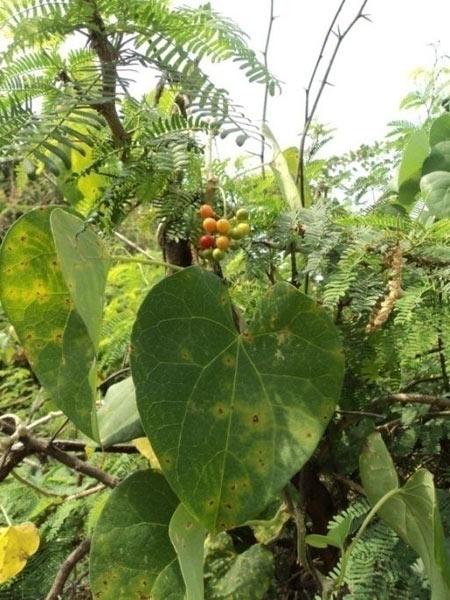 Tinospora Cordifolia,Tinospora Cordifolia Manufacturers ...