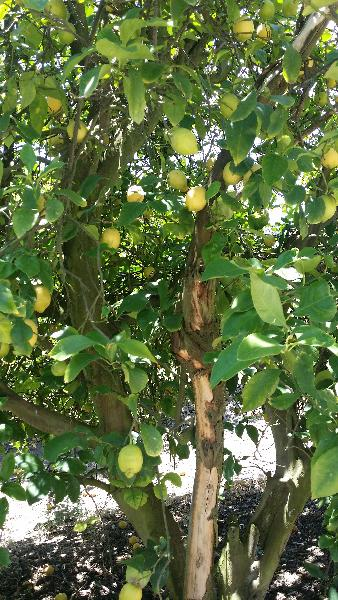 Australia Lemon 02