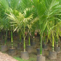 Supari Palm