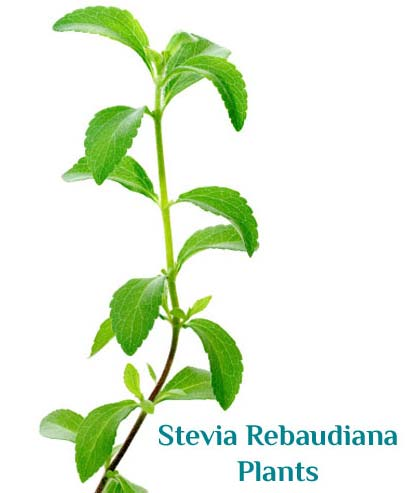 essential oils dried stevia leaves stevia rebaudiana seeds. Black Bedroom Furniture Sets. Home Design Ideas