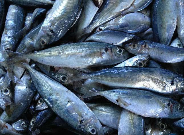 Frozen Horse Mackerel Fishes