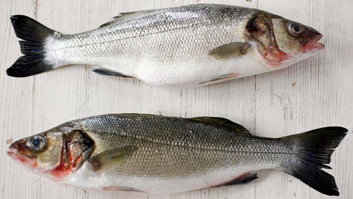 Frozen Salmon Fishes