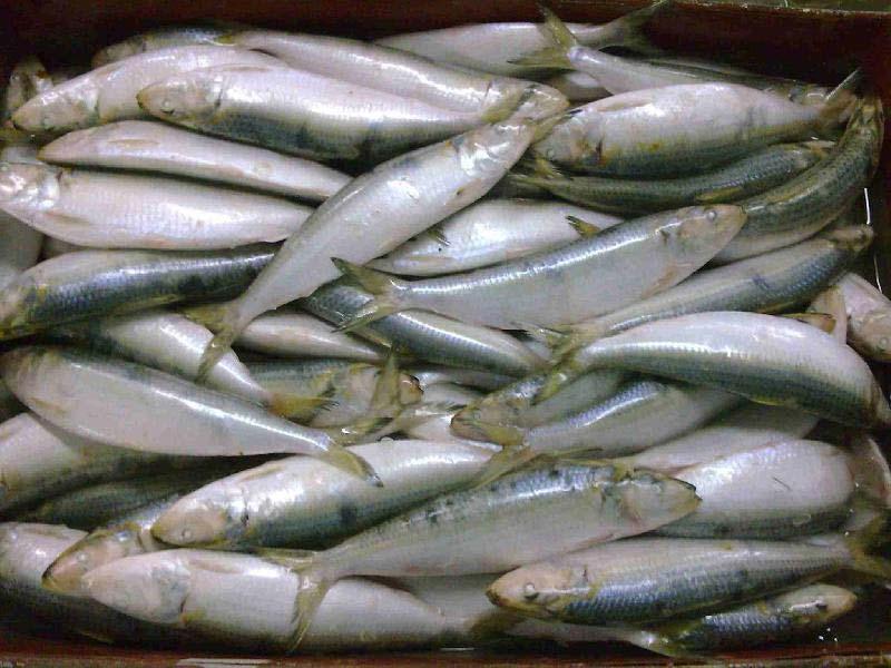 Frozen Sardine Fishes
