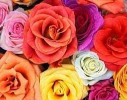 Dutch Rose Flowers