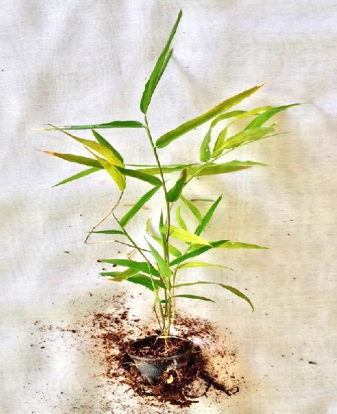 Tissue Culture Stocksii Bamboo Plant 01