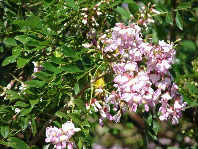 Gliricidia Sepium Plants