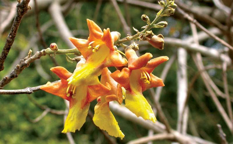 Gmelina Arborea Plants