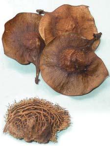 Pterocarpus Marsupium Seeds