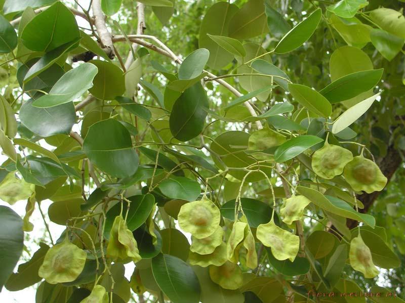 Pterocarpus Santalinus Seeds
