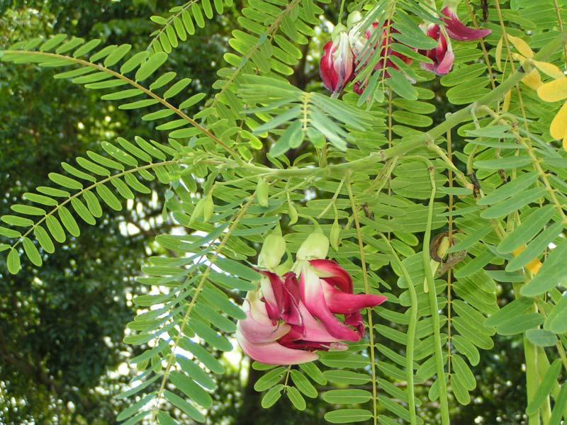 Sesbania Grandiflora Plants