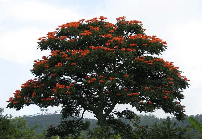 Spathodea Campanulata Plants