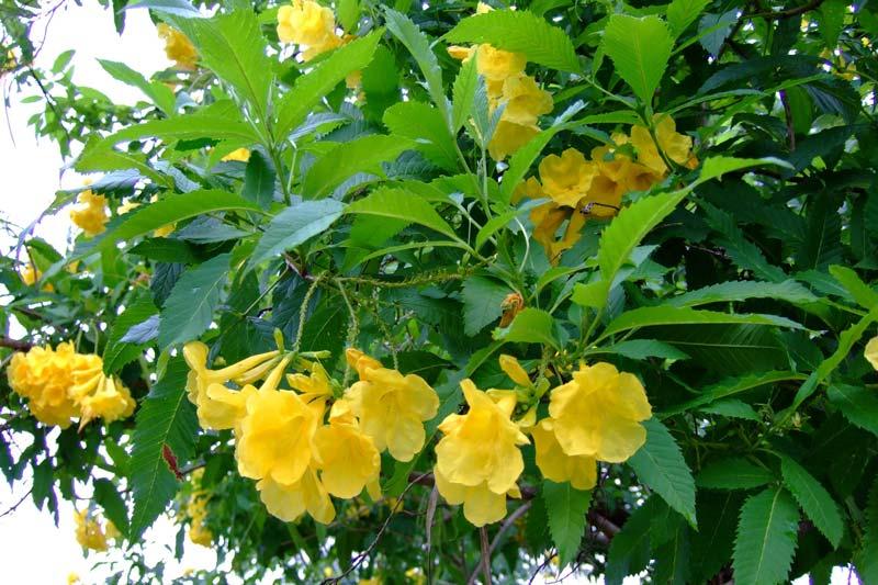 Tecoma Stans Plants