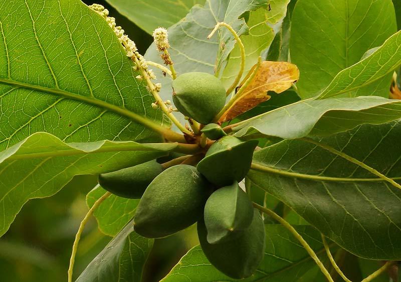 Terminalia Catappa Plants