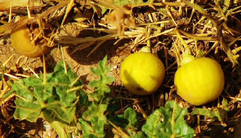 Shade Of Yellow yellow berried night shade manufacturer supplier in chennai india