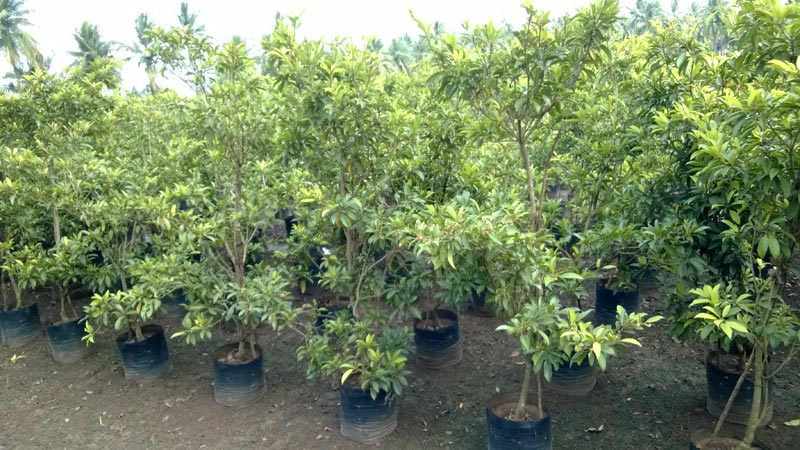 fruit plants,peach fruit plants,fruit plants nursery india, Natural flower