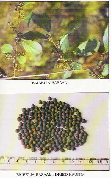 Embelia Basaal