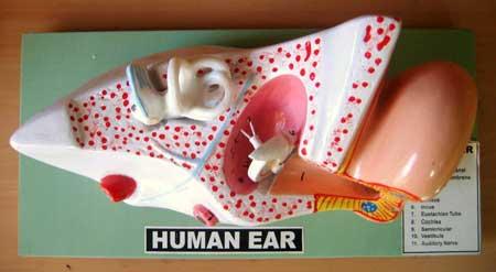 Anatomy Human Ear