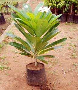 how to grow champa plant