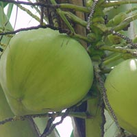 Coconut (SII 06)