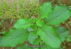 Organic Holy Basil Leaves (Organic Organic Ocimum Sanctum & Organic Ocimum Tenuiflorum)