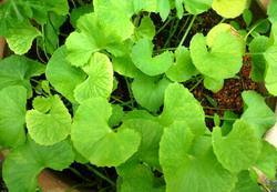 Organic Mandukaparni Leaves (Organic Centella Asiatica)