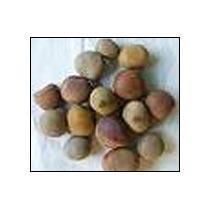 Sagargotta Seeds (Caesalpinia Bonduc)