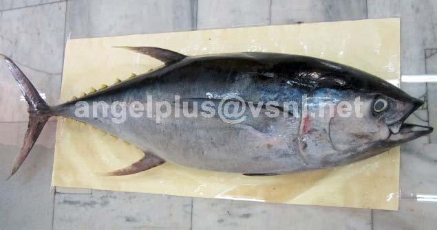 Frozen Yellowfin Tuna Fishes