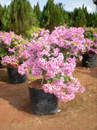 Bougainvillea Plants