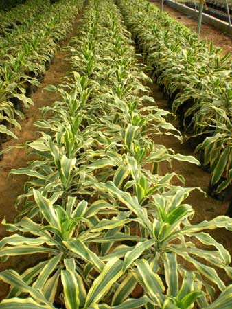 Dracena Plants