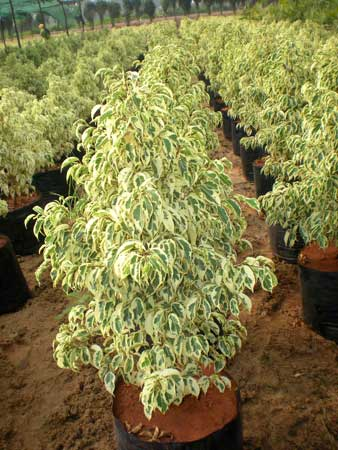 Ficus Starlight Plants