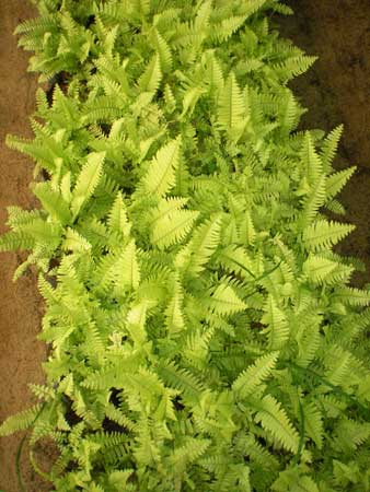 Golden Fern Plants