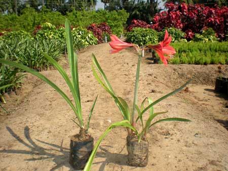 Pink Stargazer Lily Plants