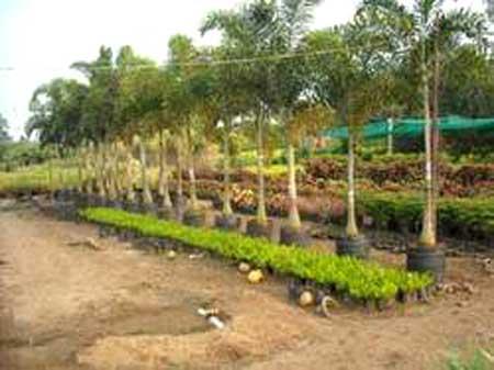 Wodyetia Bifurcata Plants