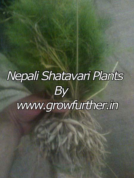 Nepali Shatavari Plant