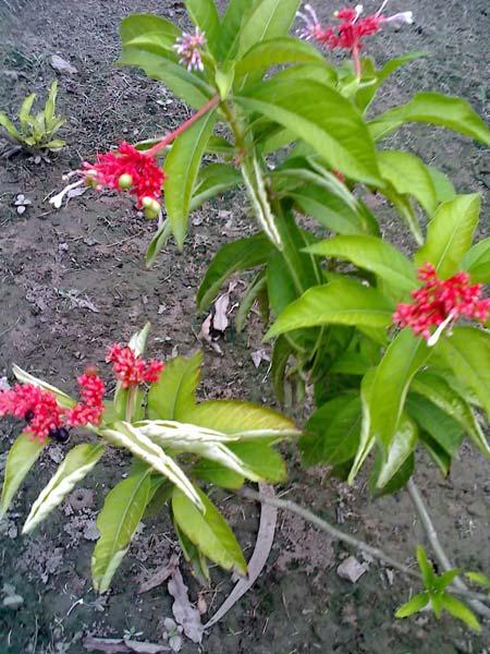 Sarpgandha Plants