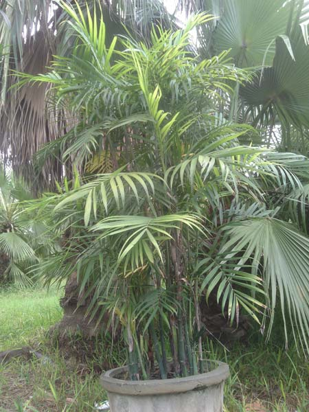 Wholesale Alexandra Palm Supplier,Alexandra Palm Exporter ...