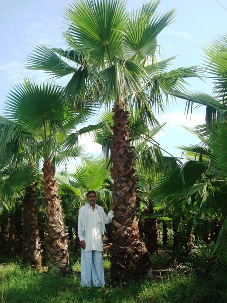 Washingtonia Filifera Plant