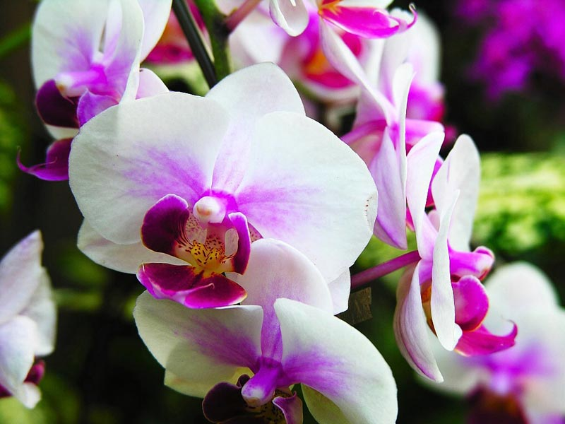 fresh orchid flowers,fragrant orchid flowers,orchid flowers suppliers, Beautiful flower