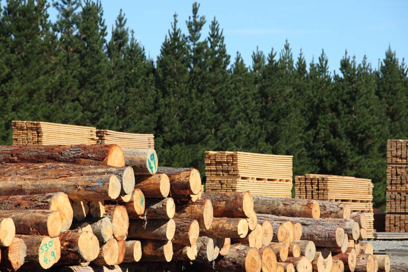 Pinewood pine tree wood industrial pine wood manufacturers Pine tree timber