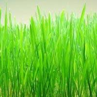 Wheatgrass Powder 01