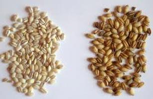 Whole Barley Seed