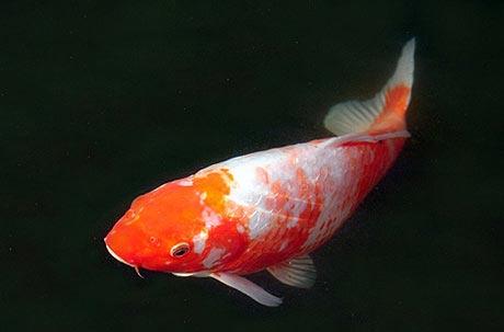 Fish farming in sehore india for Koi carp farm