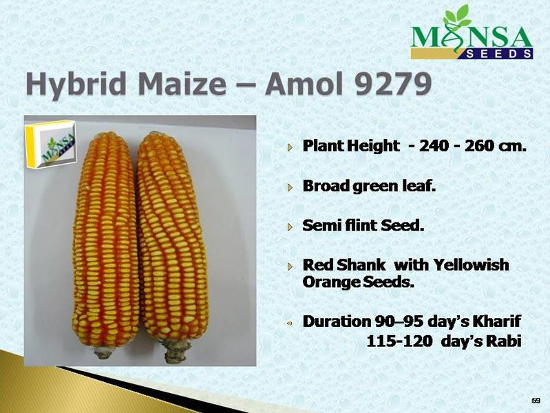 Maize Seeds (Amol-9279) 01