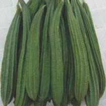 Ridge Gourd Seeds (Mantra - 522) 02