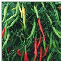 Chilli Seeds (Jwala - 333) 02